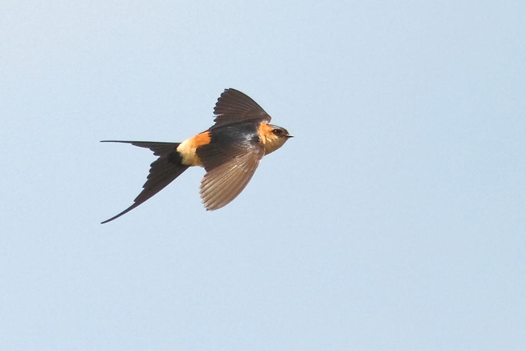 Red-rumped Swallow, Co. Wexford, Ireland.