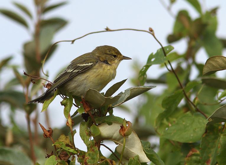 Blackpoll Warbler, Co. Galway, Ireland.