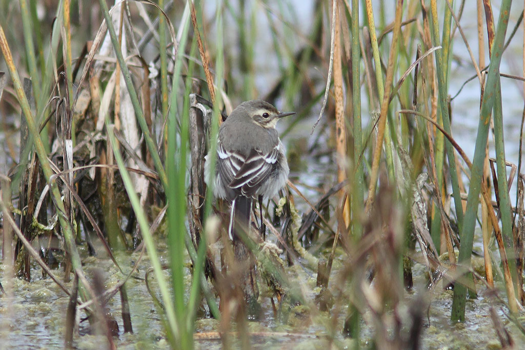 Citrine Wagtail, Co. Wexford, Ireland.