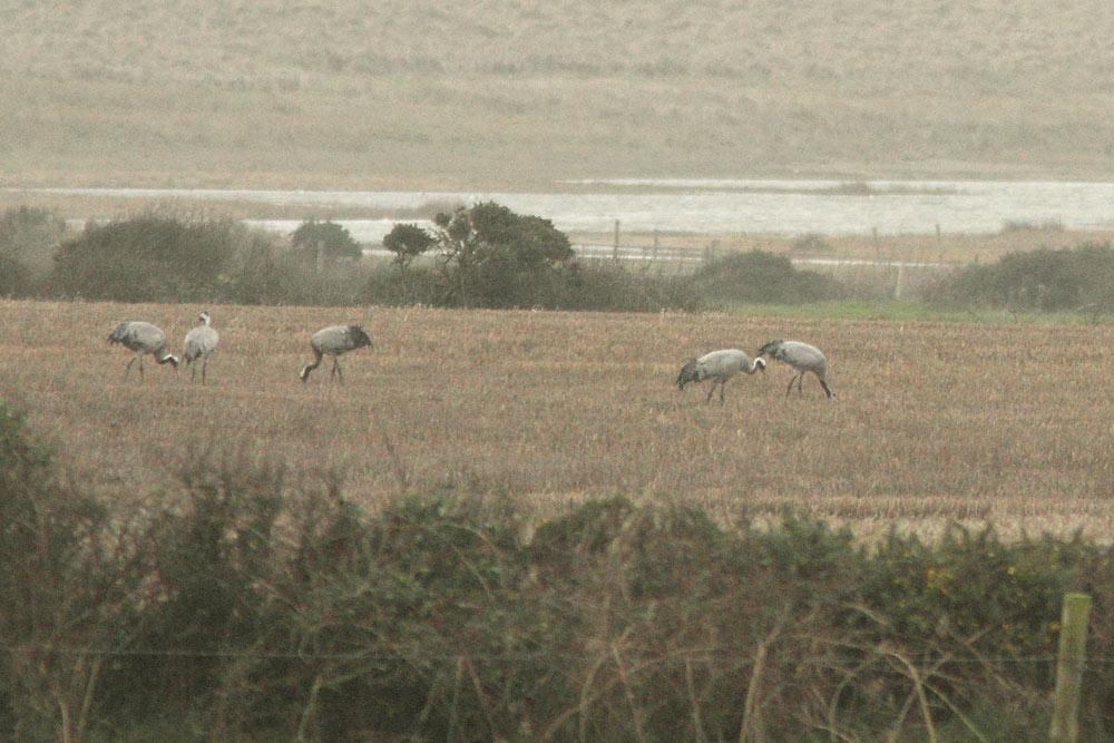 Crane, Co. Wexford, Ireland.