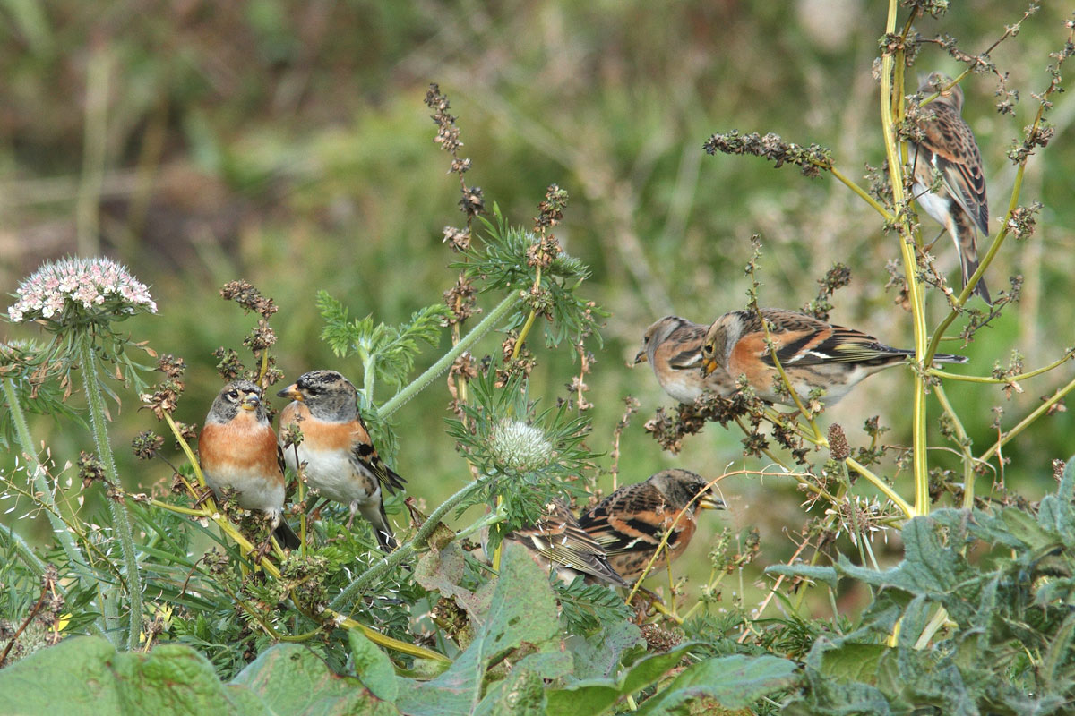 Brambling, Co. Donegal, Ireland.