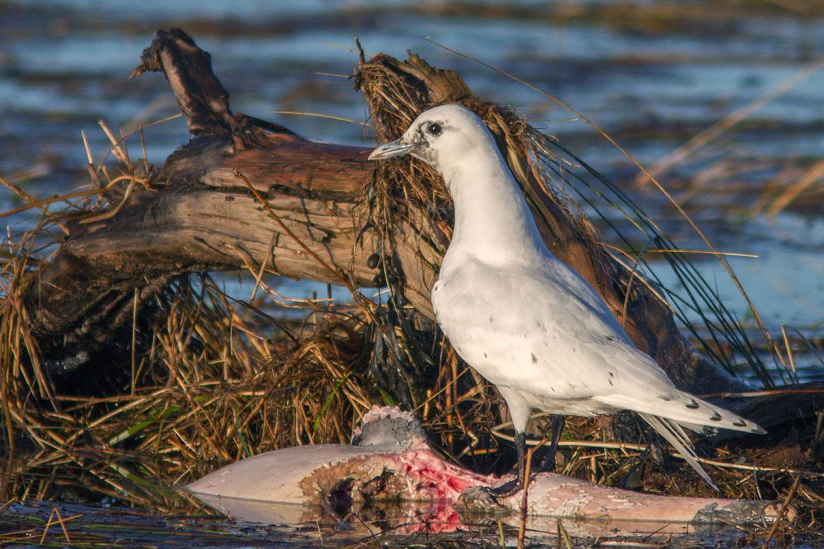 Ivory Gull, Co. Wexford, Ireland.