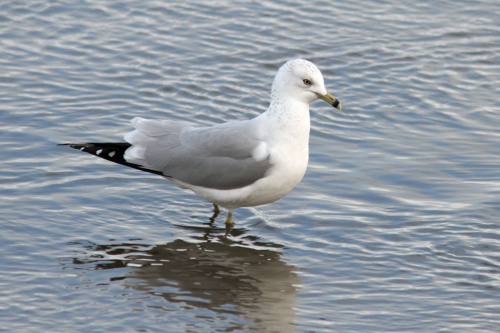 Ring-billed Gull, Co. Wexford, Ireland.