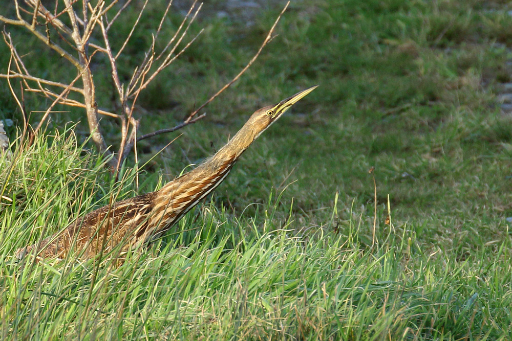 American Bittern, Co. Cork, Ireland.
