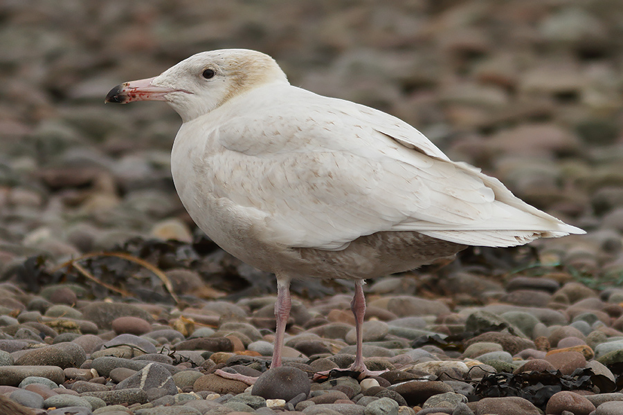 Glaucous Gull, Co. Kerry, Ireland.
