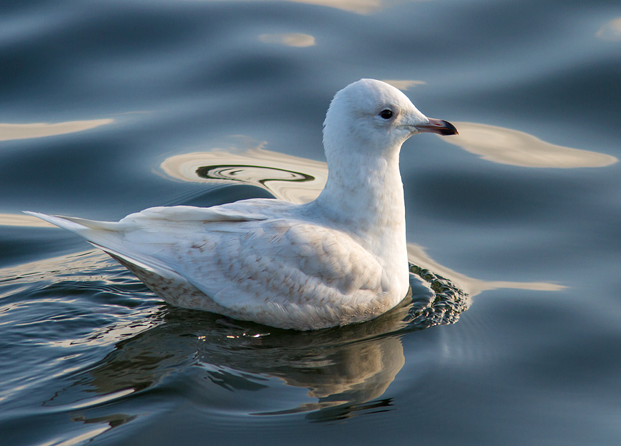 Iceland Gull, Co. Donegal, Ireland.