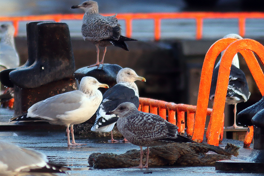 Slaty-backed Gull, Co. Donegal, Ireland.