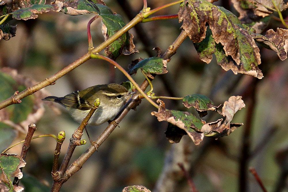 Yellow-browed Warbler, Co. Cork, Ireland.