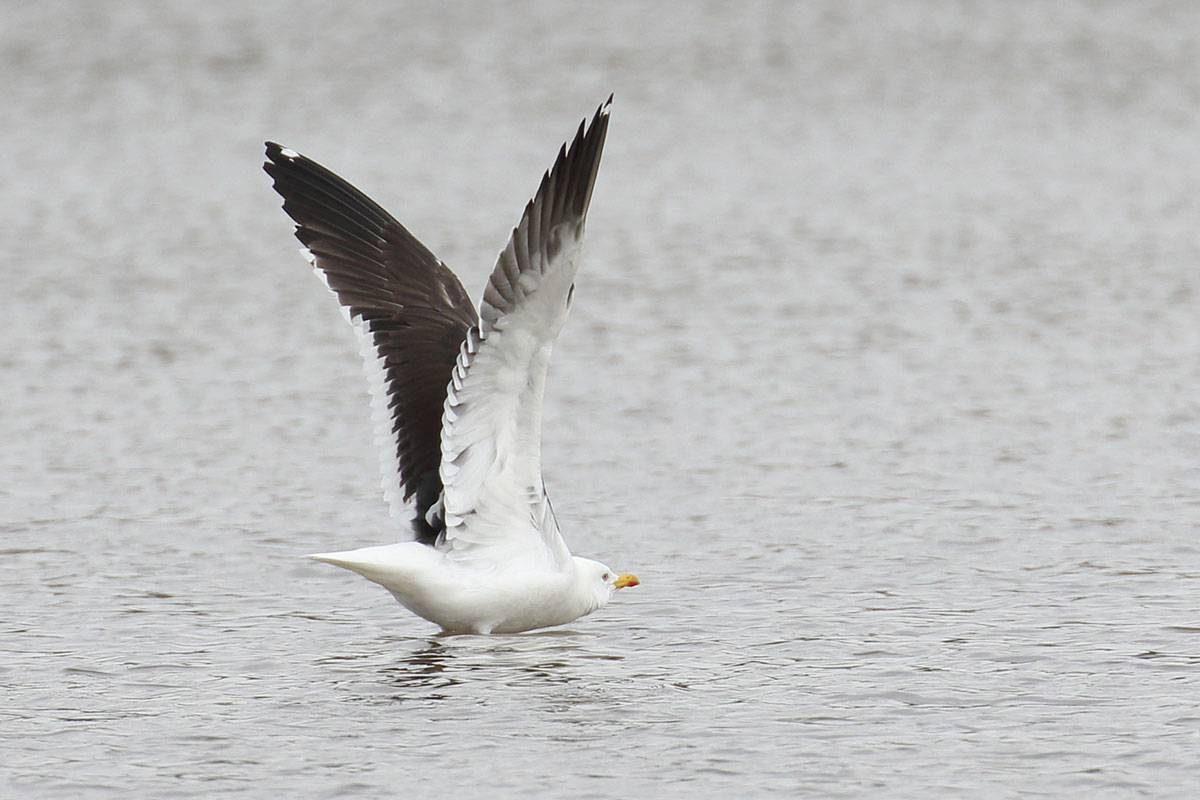 Baltic Gull, Co. Cork, Ireland.