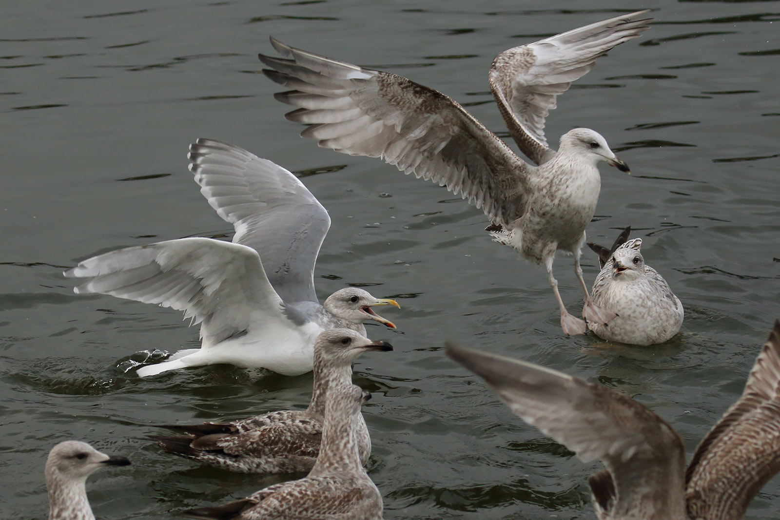 Glaucous-winged Gull, Co. Cork, Ireland.