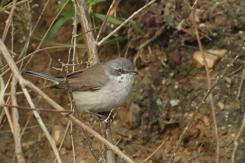 Lesser Whitethroat, Co. Wexford, Ireland.