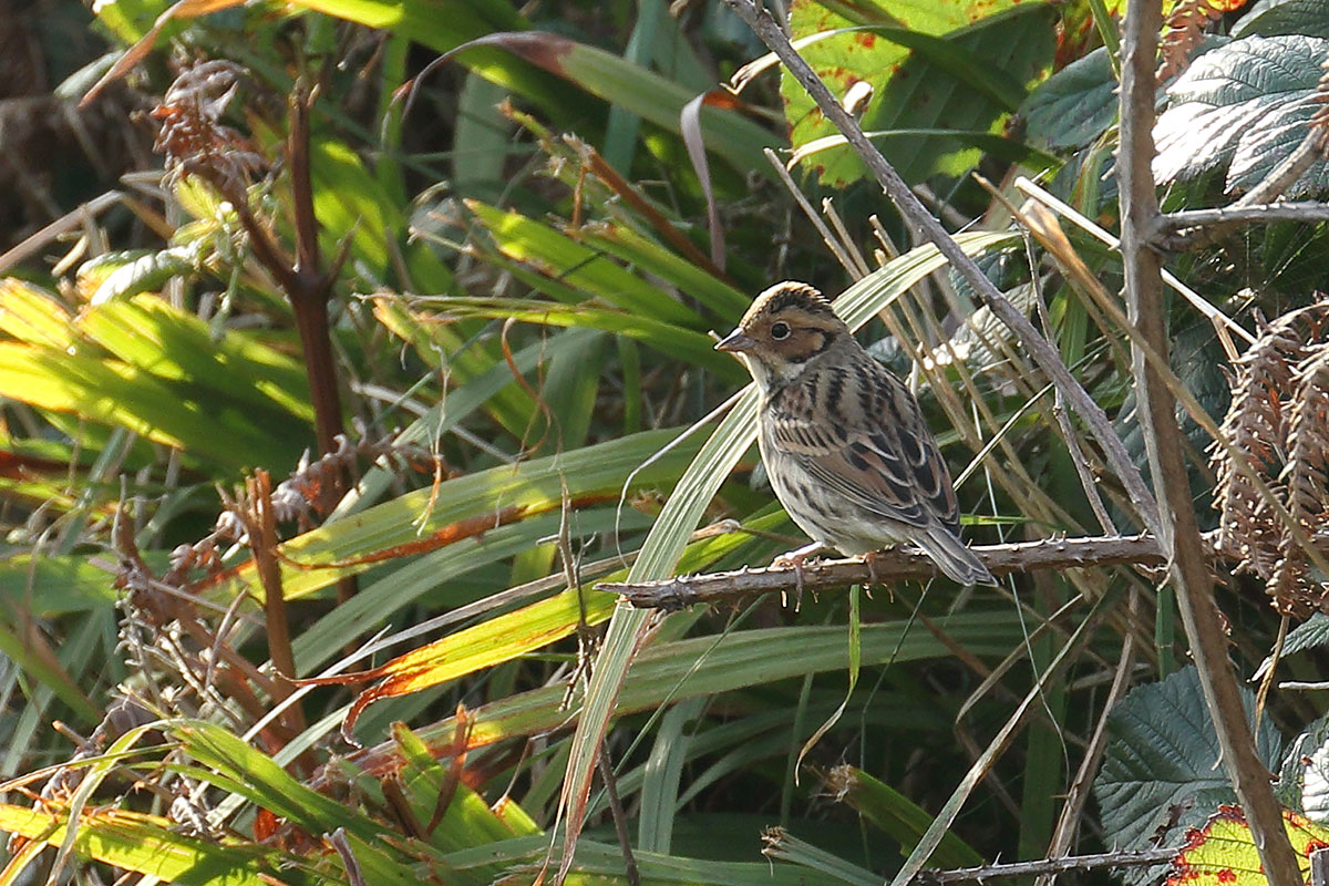 Little Bunting, Co. Cork, Ireland.