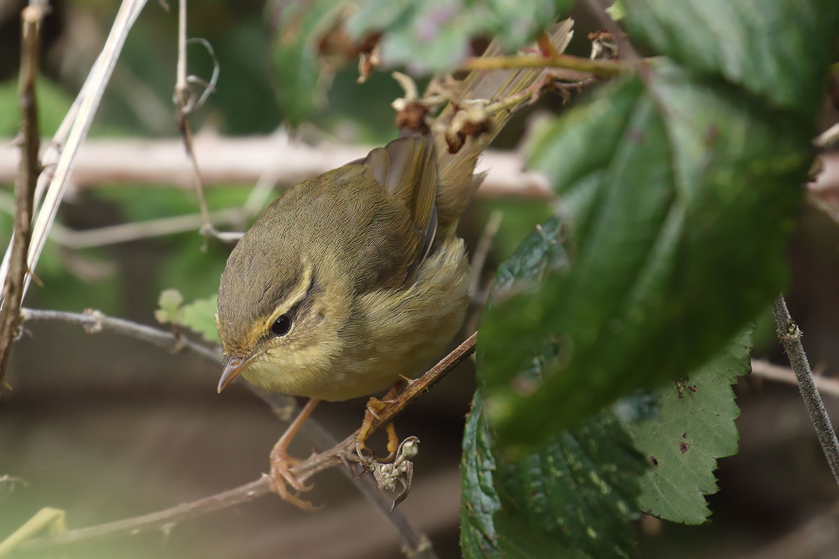 Radde's Warbler, Co. Cork, Ireland.