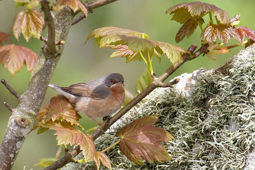 Subalpine Warbler, Co. Wexford, Ireland.