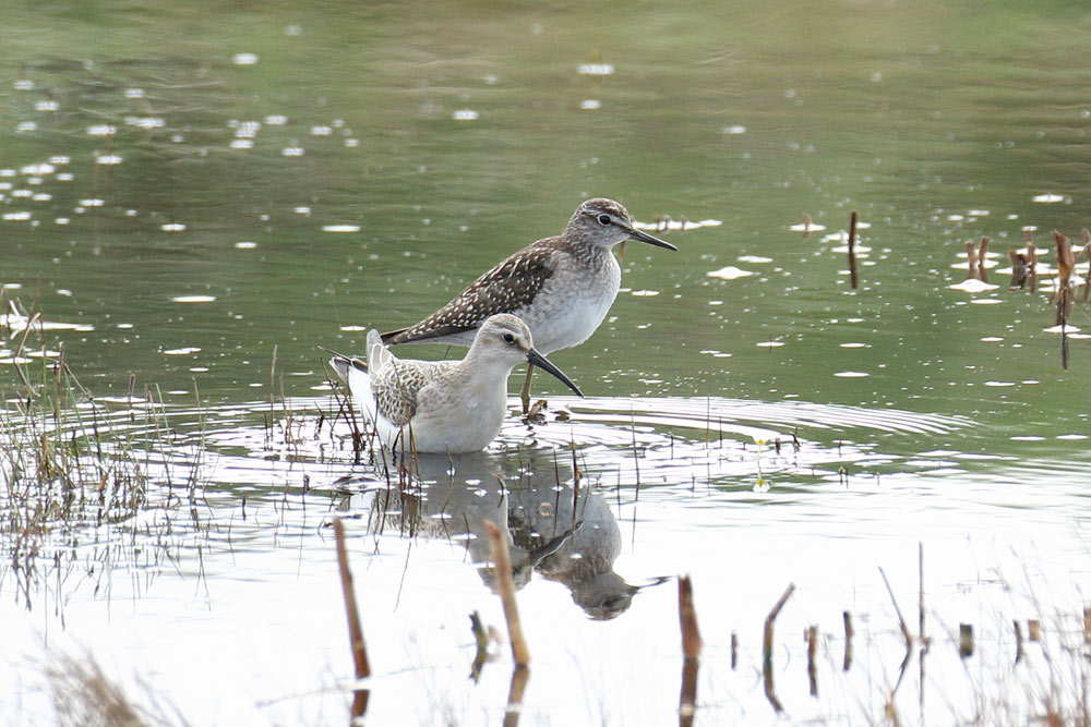 Wood Sandpiper, Co. Wexford, Ireland.