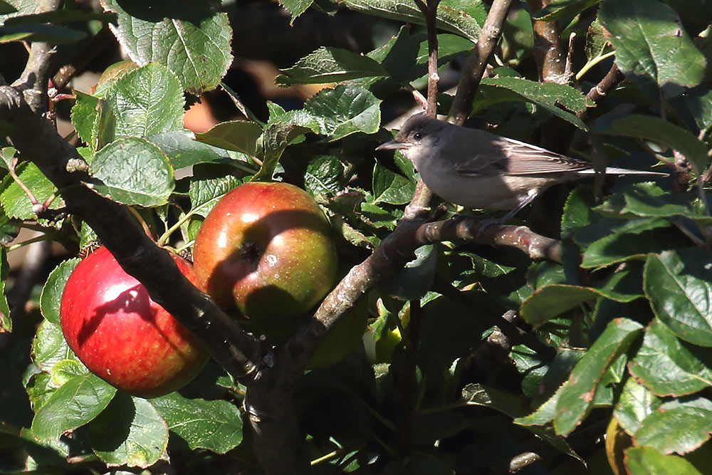Barred Warbler, Co. Cork, Ireland.