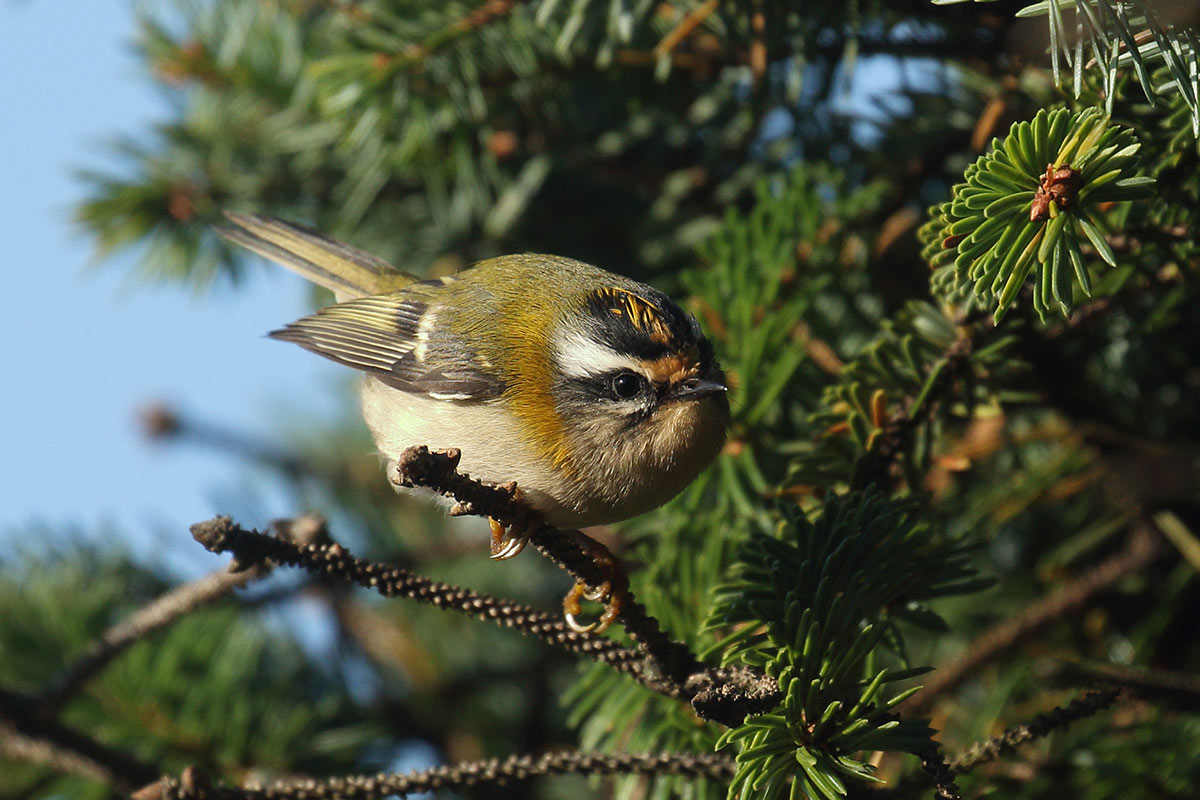 Firecrest, Co. Cork, Ireland.