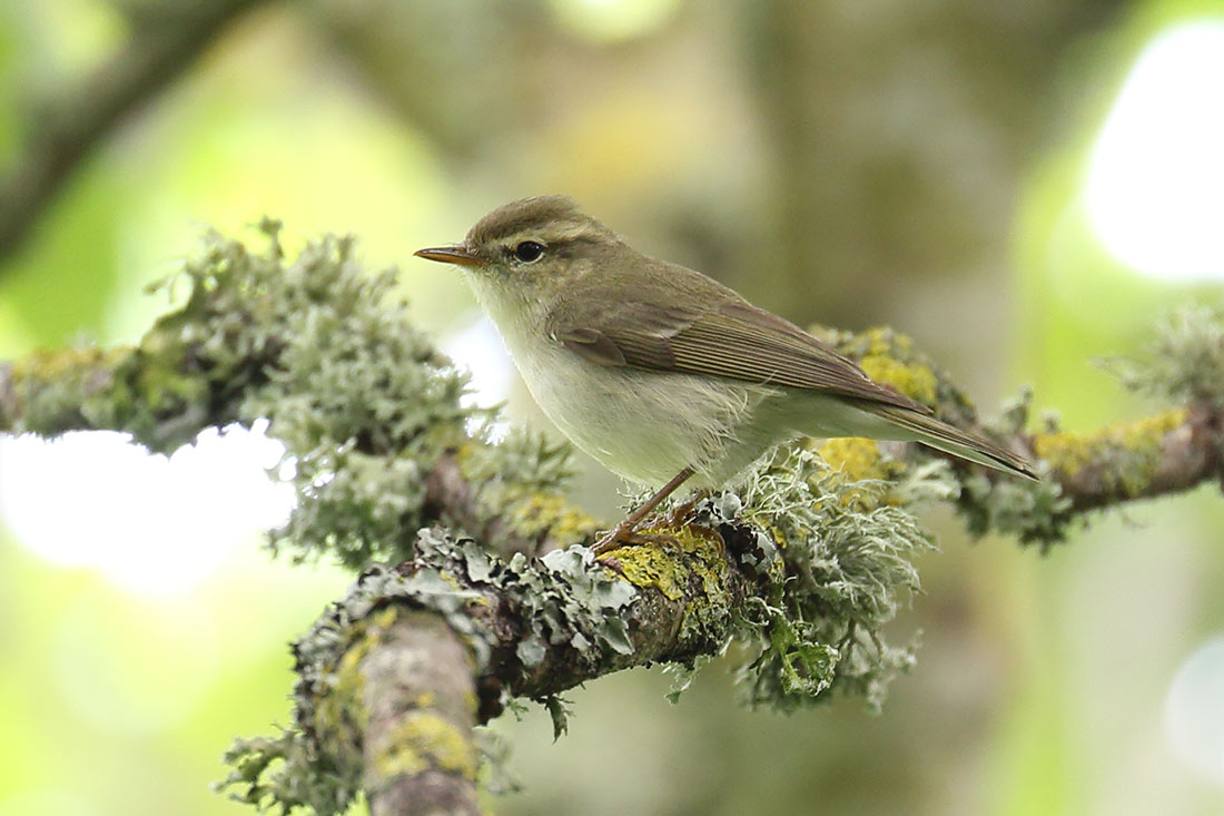 Greenish Warbler, Co. Wexford, Ireland.
