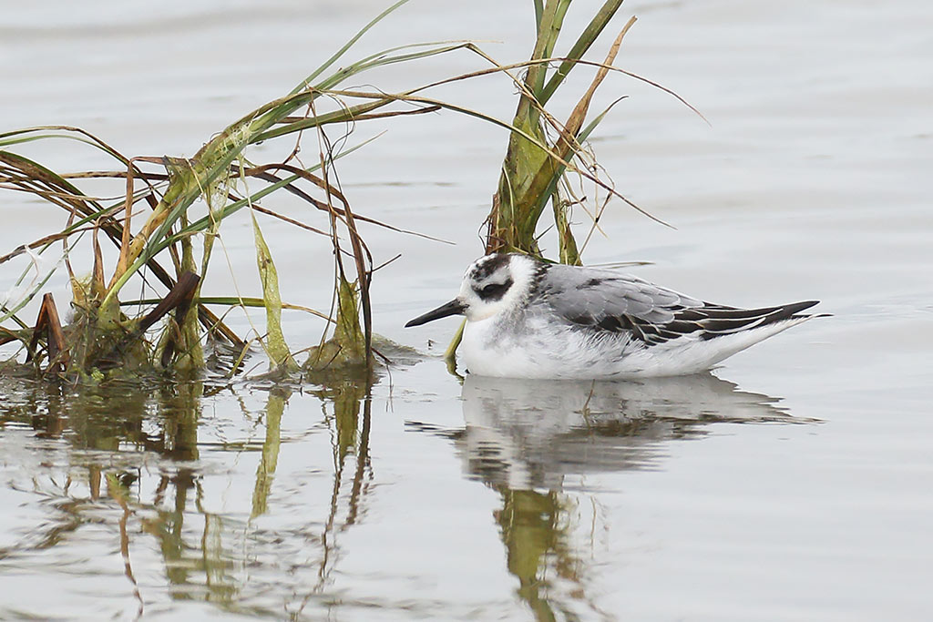 Grey Phalarope, Co. Wexford, Ireland.