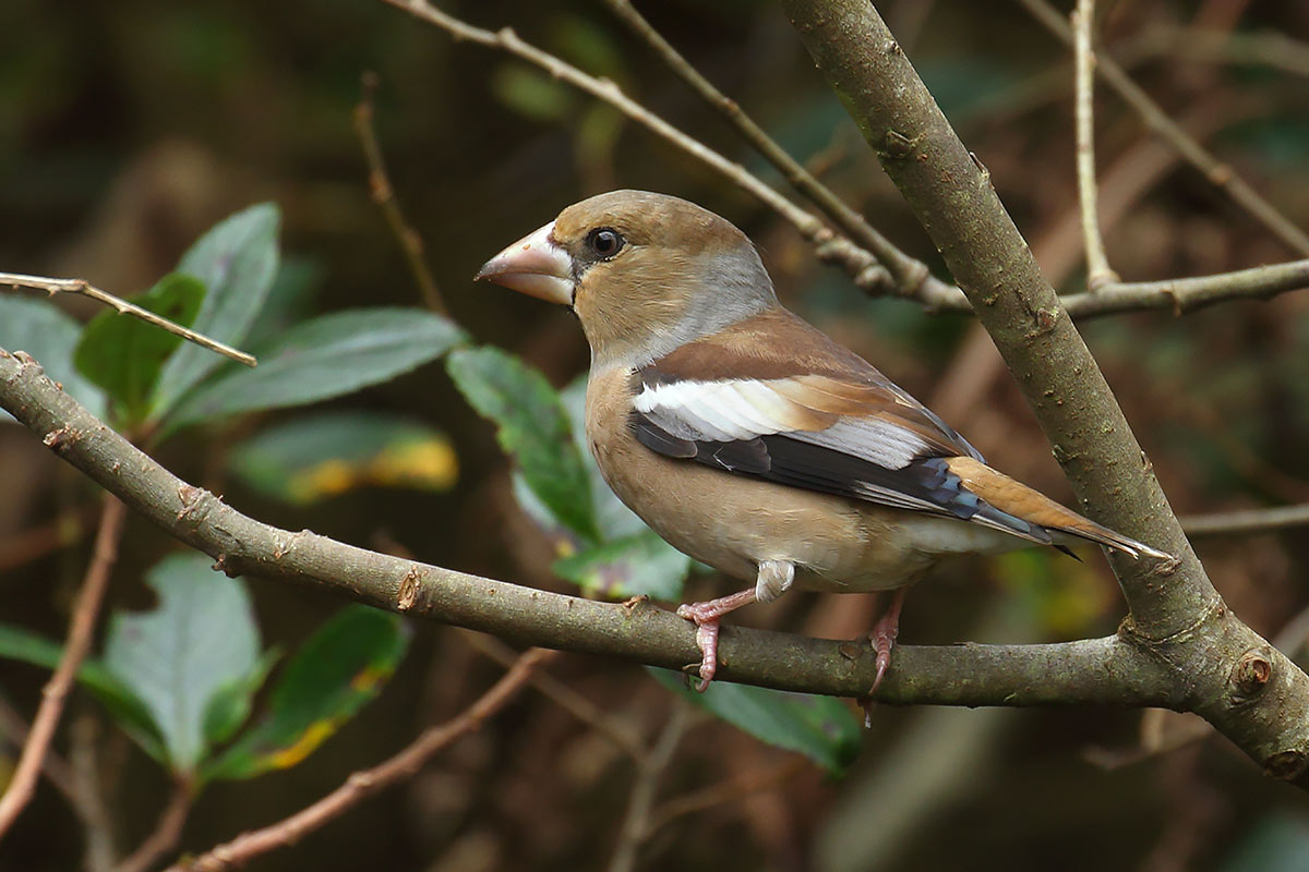 Hawfinch, Co. Cork, Ireland.