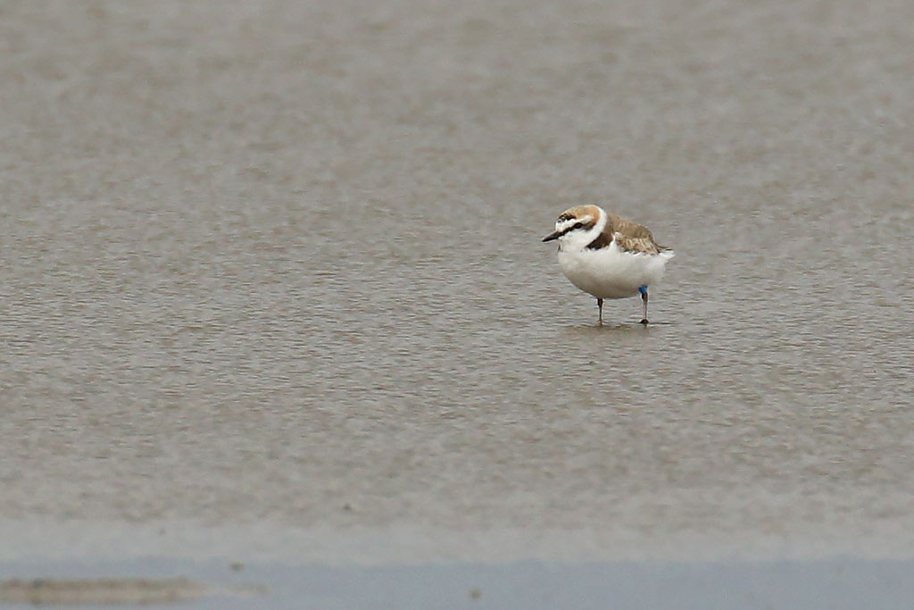 Kentish Plover, Co. Wexford, Ireland.