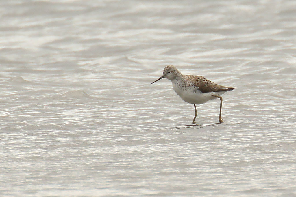 Marsh Sandpiper, Co. Dublin, Ireland.