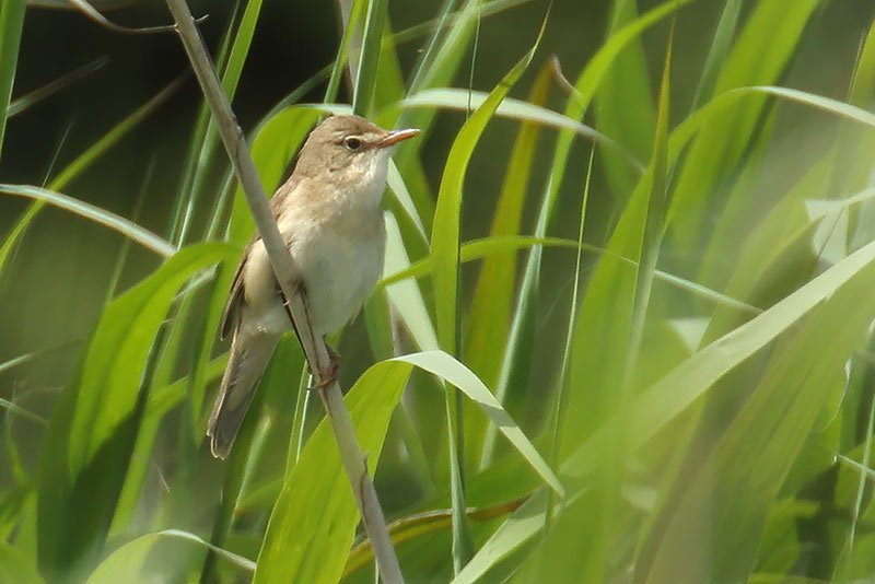 Marsh Warbler, Co. Wexford, Ireland.