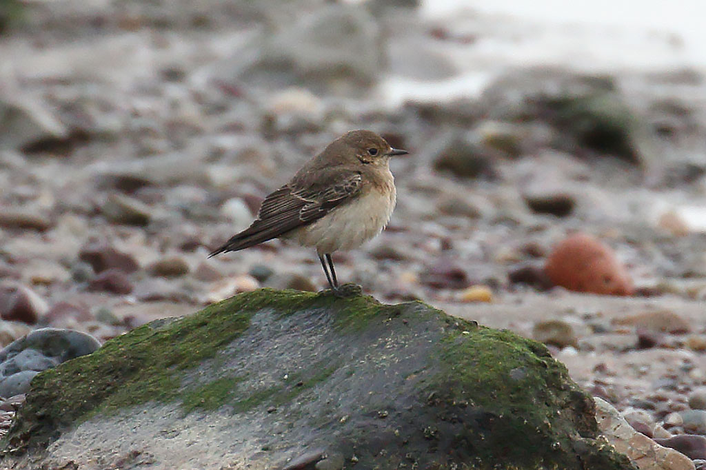 Pied Wheatear, Co. Cork, Ireland.