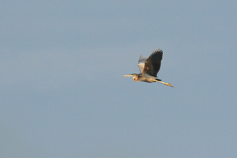Purple Heron, Co. Wicklow, Ireland.