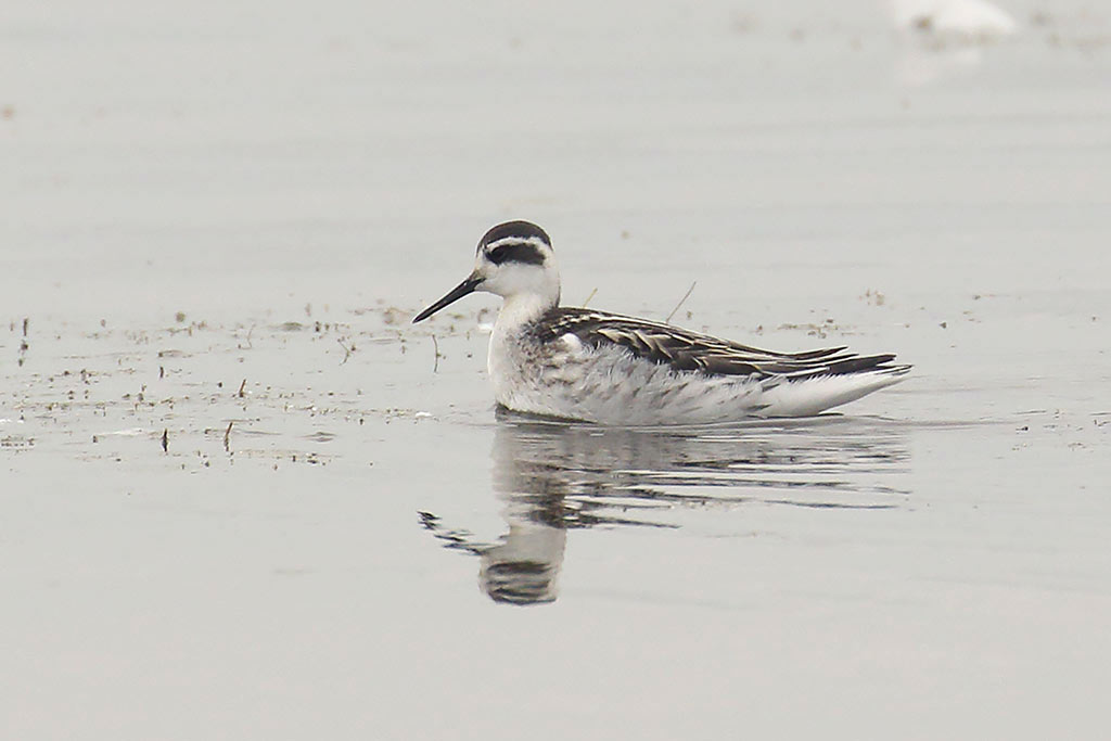 Red-necked Phalarope, Co. Wexford, Ireland.