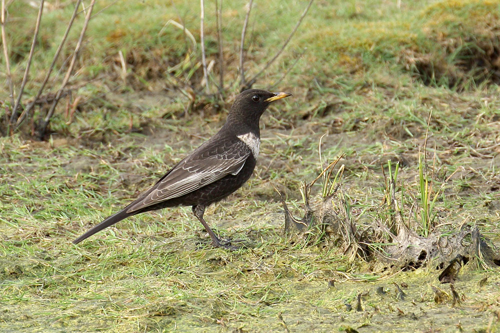 Ring Ouzel, Co. Wexford, Ireland.