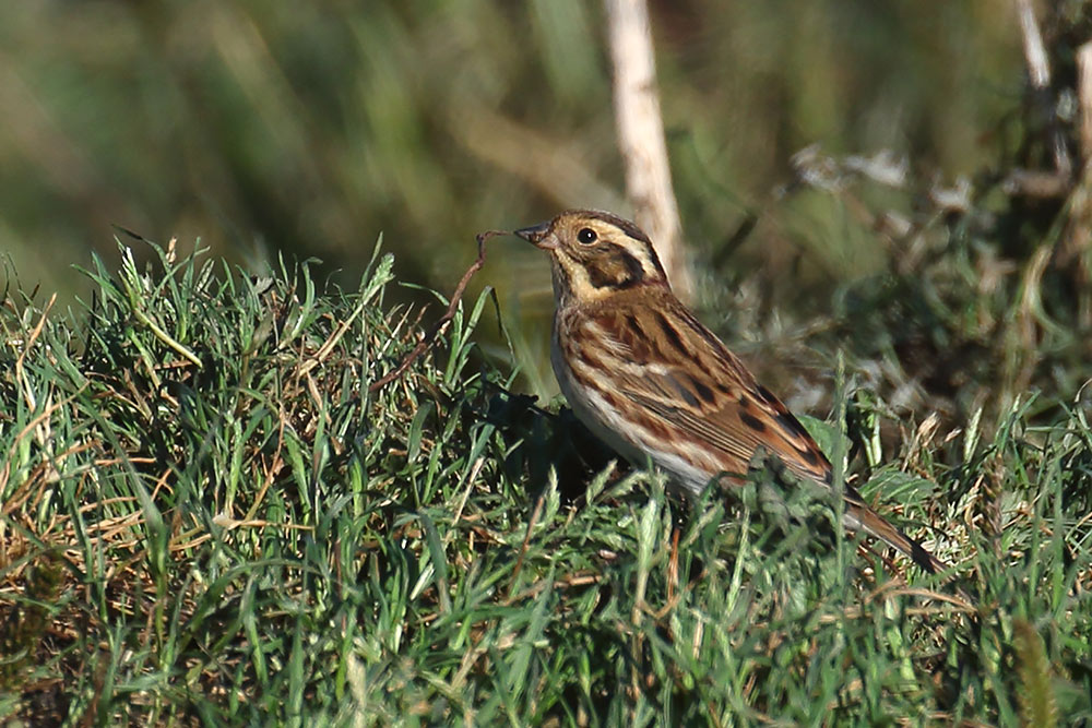 Rustic Bunting, Co. Cork, Ireland.