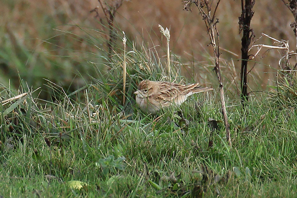 Short-toed Lark, Co. Cork, Ireland.