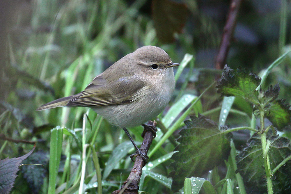 Siberian Chiffchaff, Co. Cork, Ireland.