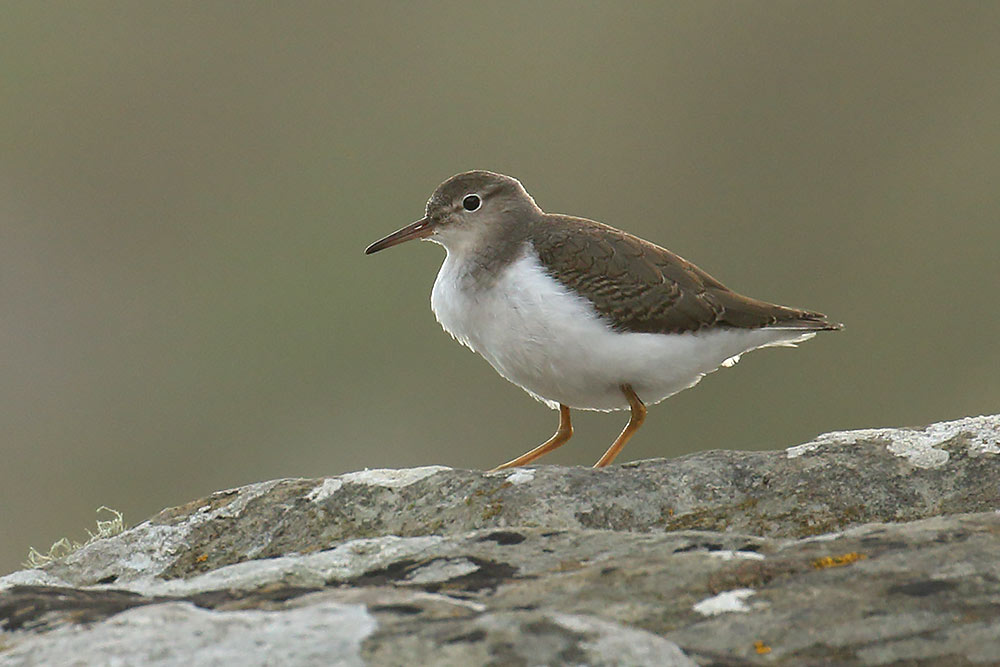 Spotted Sandpiper, Co. Cork, Ireland.