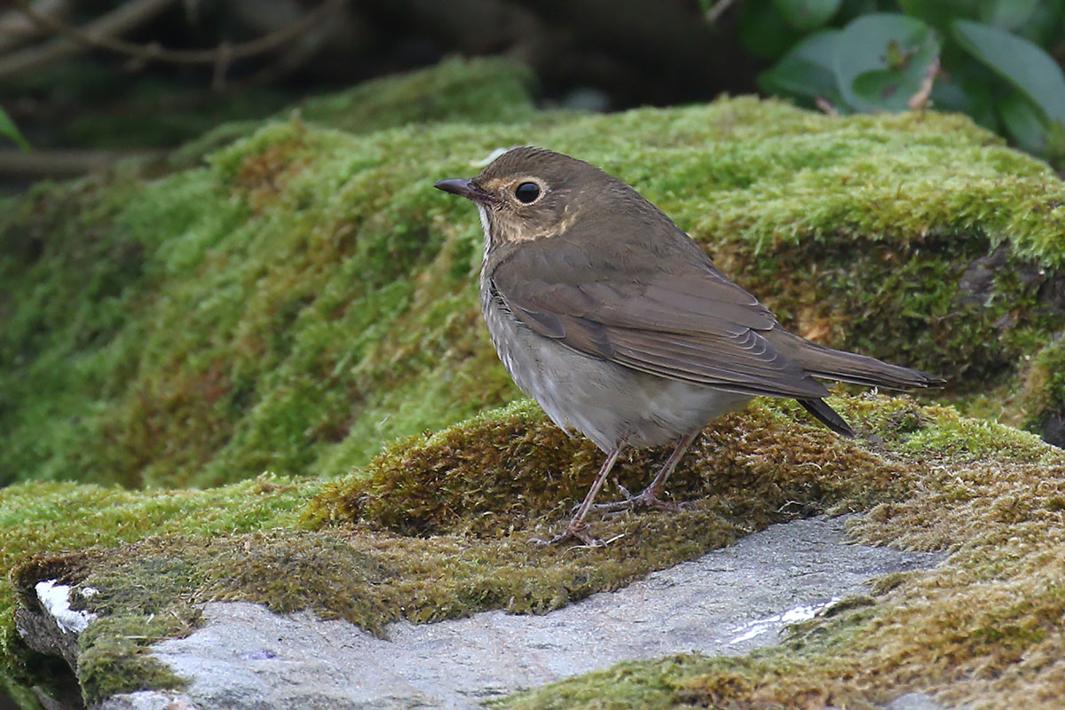 Swainson's Thrush, Co. Cork, Ireland.