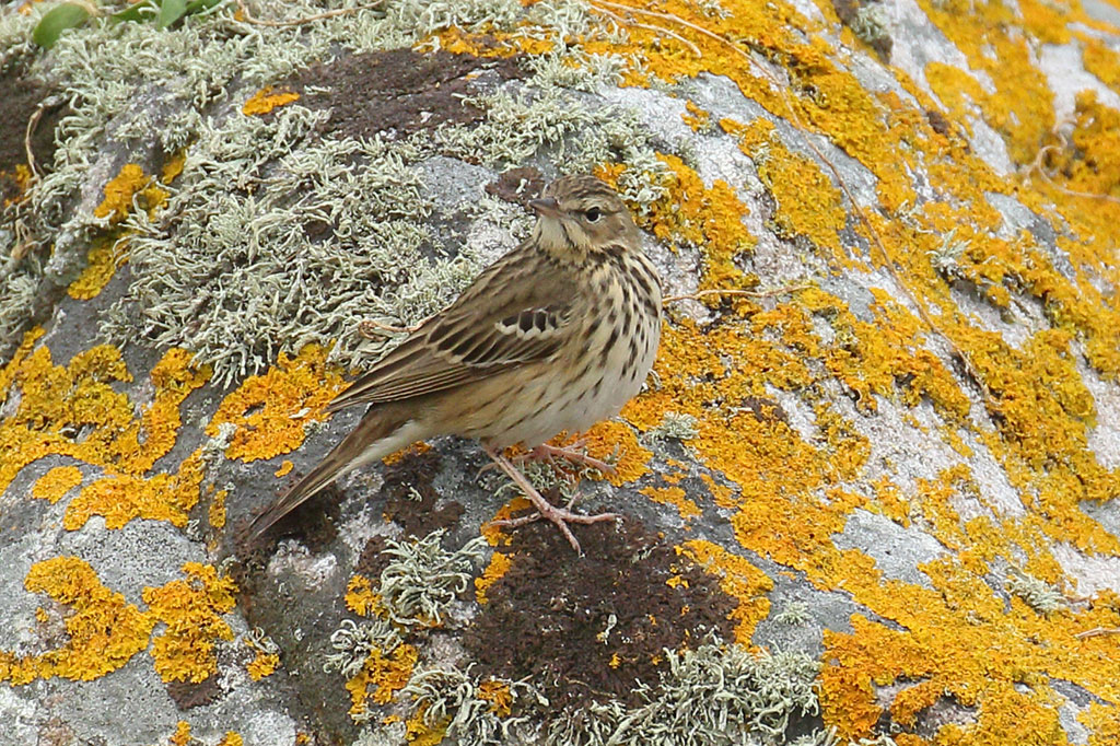 Tree Pipit, Co. Wexford, Ireland.