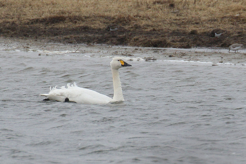 Bewick's Swan, Co. Wexford, Ireland.