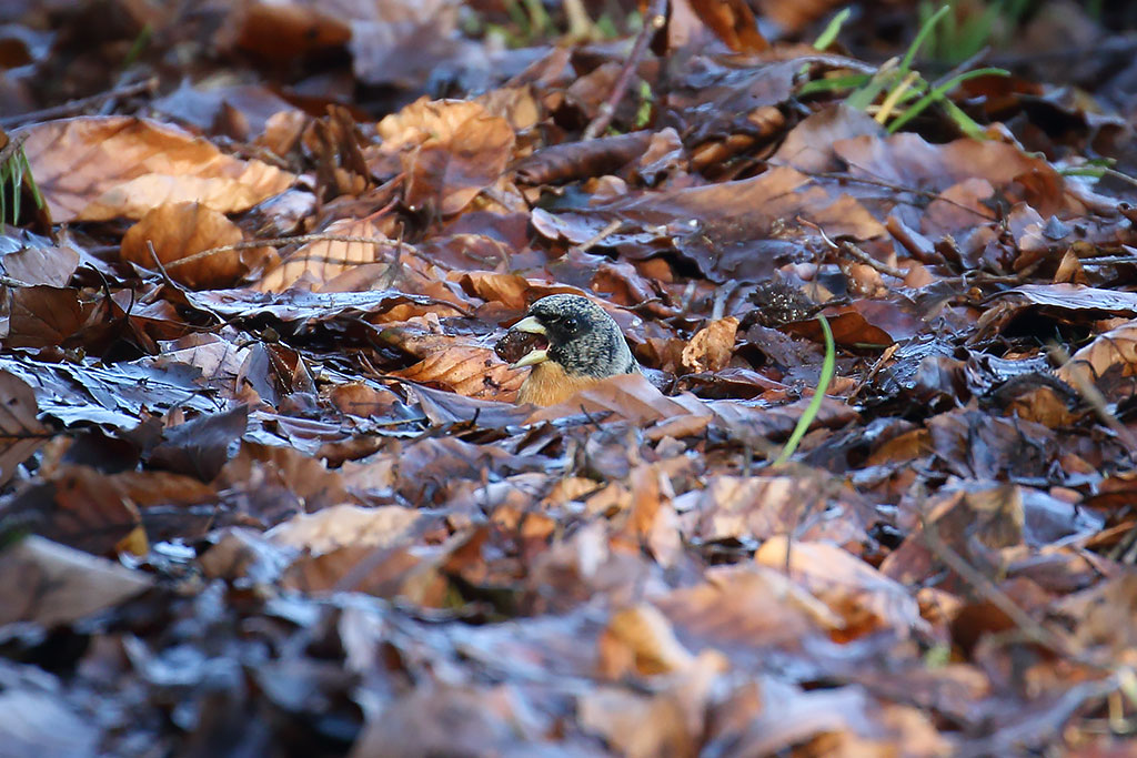 Brambling, Co. Wicklow, Ireland.