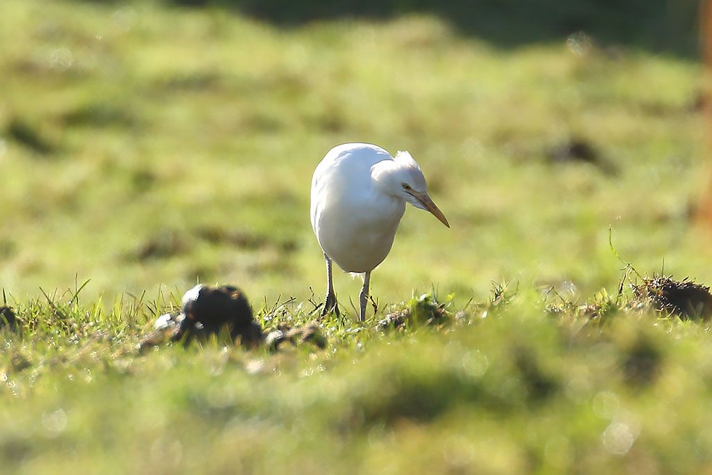 Cattle Egret, Co. Wexford, Ireland.