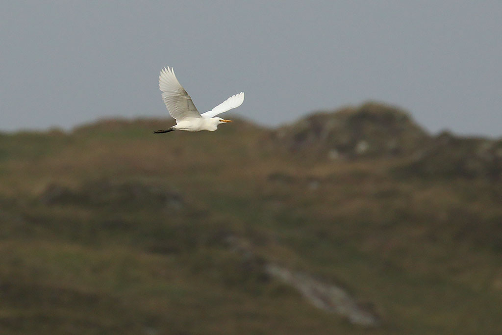 Cattle Egret, Co. Cork, Ireland.