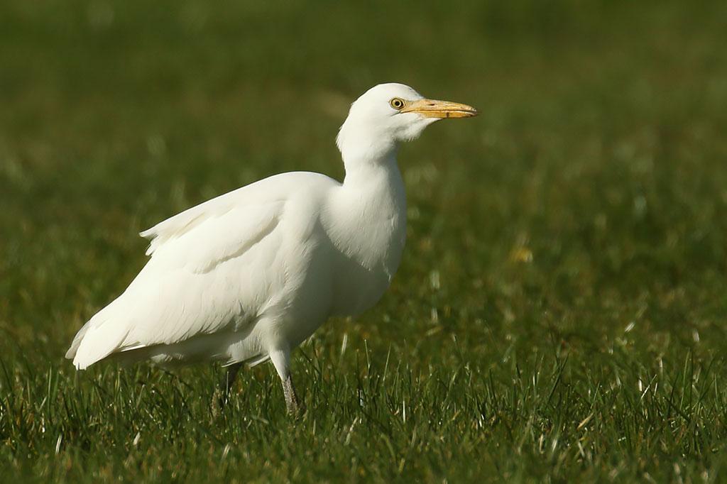 Cattle Egret, Co. Wexford, Ireland.