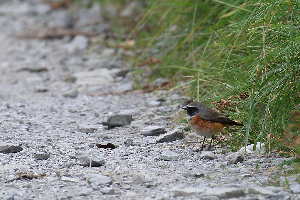 Common Redstart, Co. Cork, Ireland.