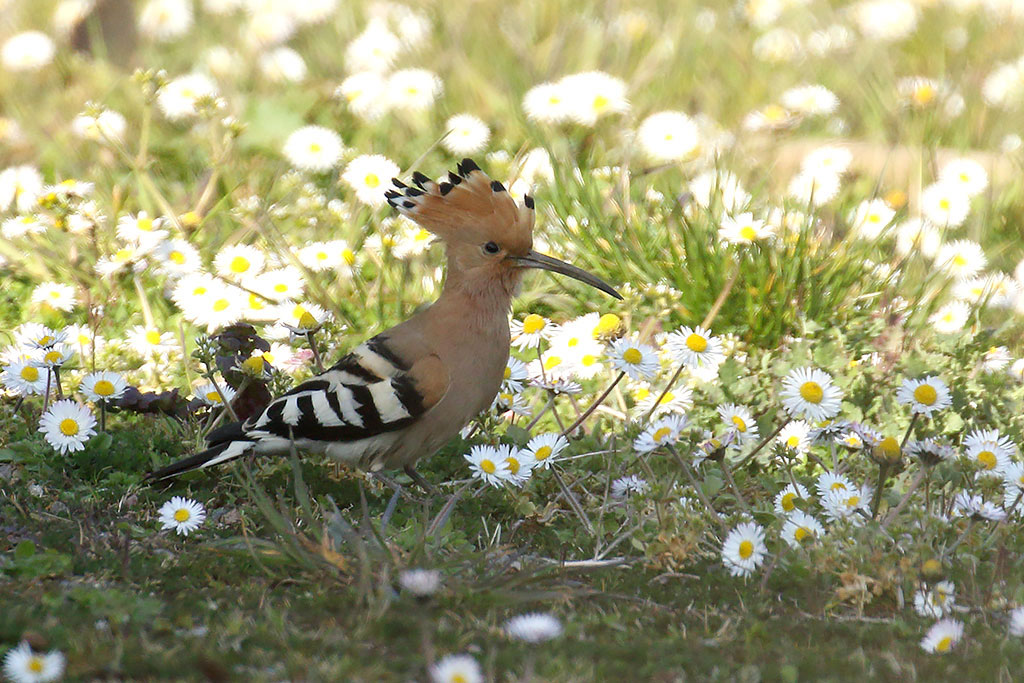 Hoopoe, Co. Wexford, Ireland.