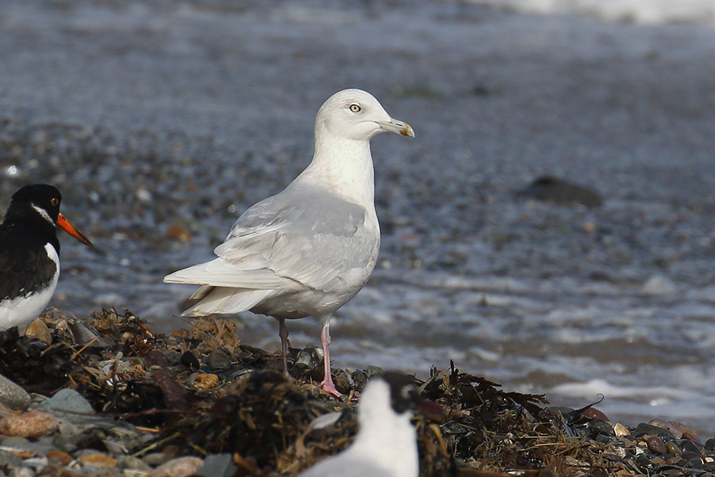 Iceland Gull, Co. Wexford, Ireland.