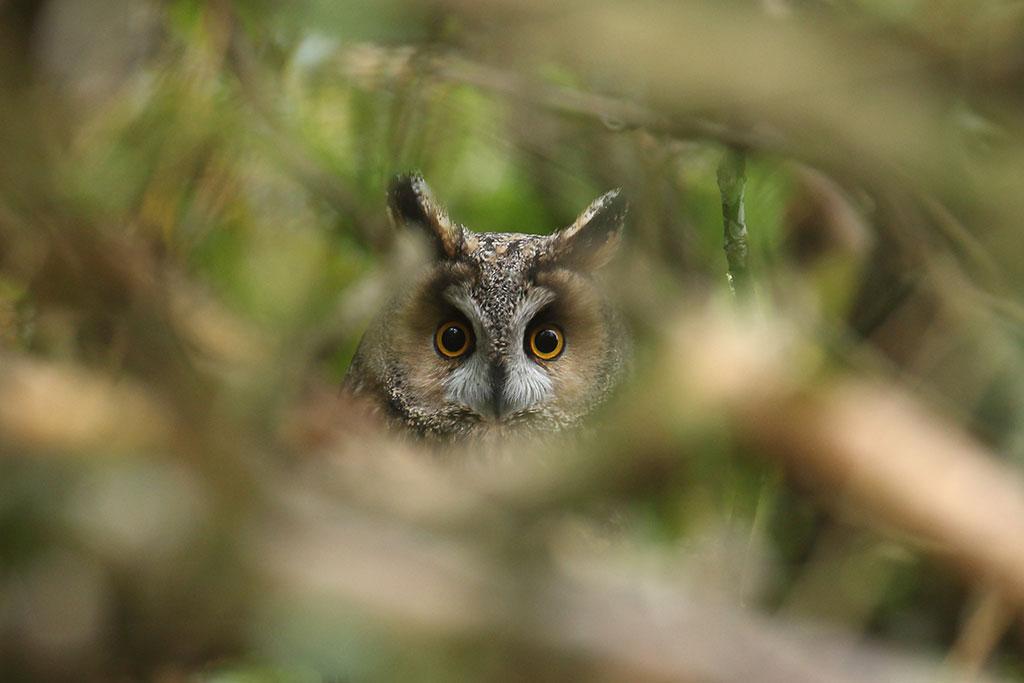 Long-eared Owl, Co. Cork, Ireland.