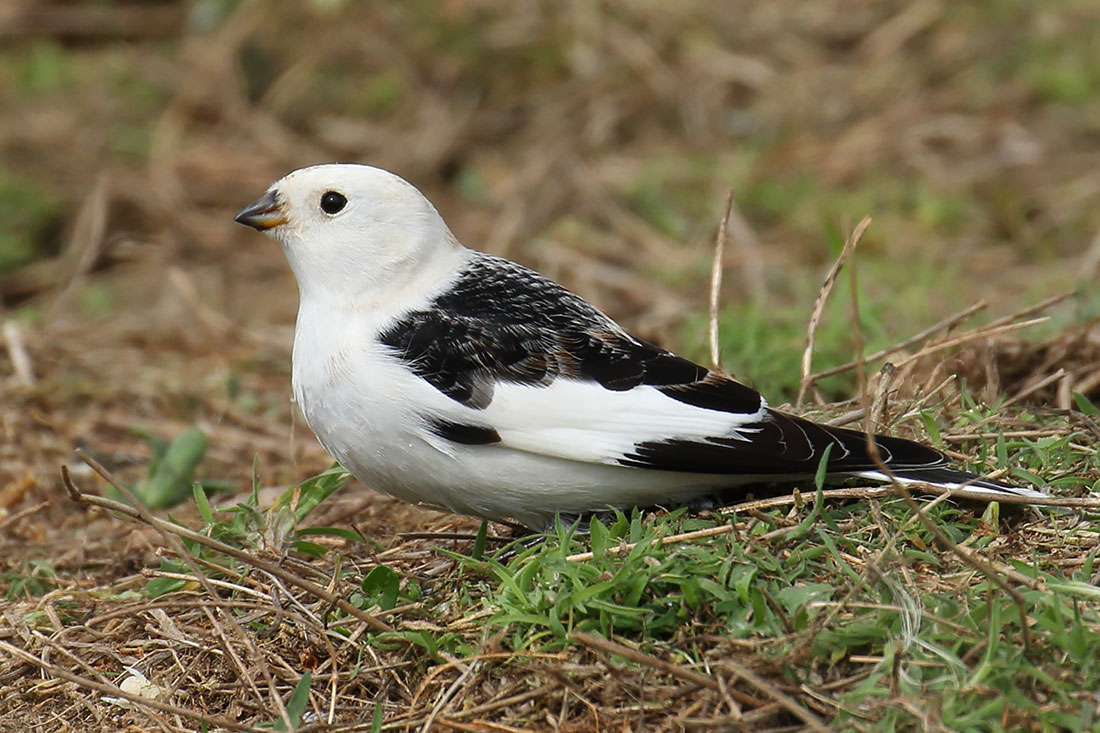 Snow Bunting, Co. Wexford, Ireland.