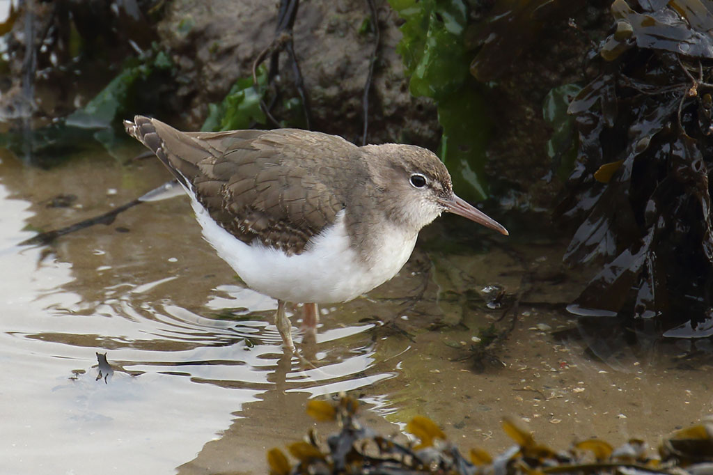 Spotted Sandpiper, Co. Wexford, Ireland.