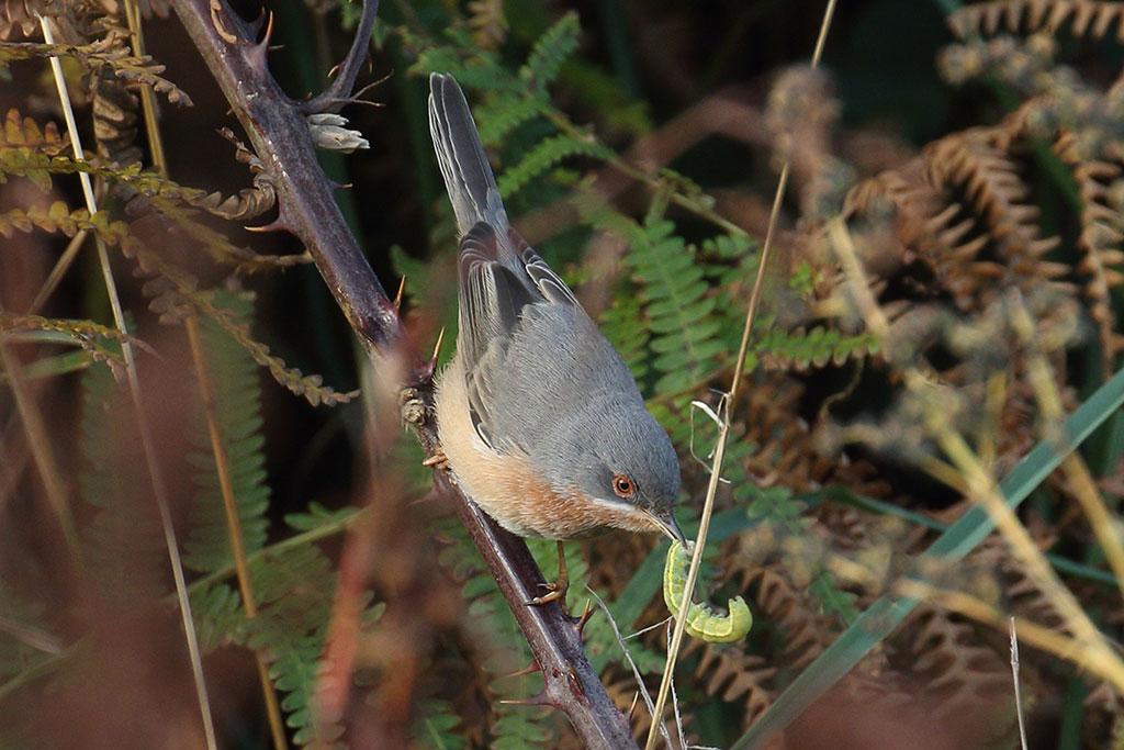 Subalpine Warbler, Co. Cork, Ireland.