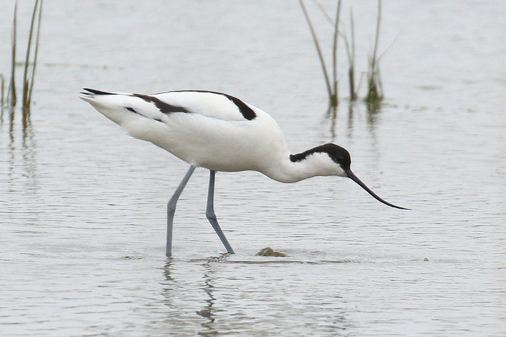 Avocet, Co. Wexford, Ireland.